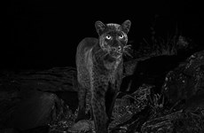 Phát hiện loài báo đen châu Phi quý hiếm ở miền trung Kenya