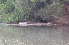 Lâm Đồng khẩn trương xử lý xác lợn chết, trôi nổi trên suối Cam Ly