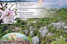[Infographics] Hoa ban Tây Bắc gọi mời mùa lễ hội