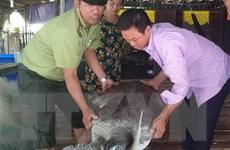 Cà Mau: Thả một cá thể rùa biển trong Sách đỏ về tự nhiên
