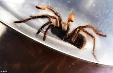 Philippines bắt giữ vụ buôn lậu hàng trăm con nhện đen lớn