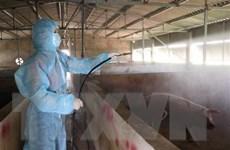 Việt Nam có cơ sở để sản xuất vắcxin dịch tả lợn châu Phi