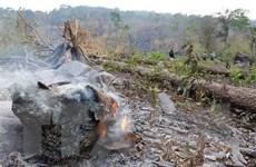 Gia Lai: Khởi tố vụ chặt hạ trái phép gỗ hương quý hiếm