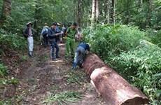 Khởi tố vụ án cưa trộm cây thông quý hiếm tại Lâm Đồng