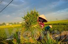 Sản lượng vụ Đông Xuân các tỉnh phía Bắc ước đạt trên 7,2 triệu tấn