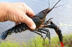 Công văn hỏa tốc về việc tăng cường kiểm soát loài tôm càng đỏ