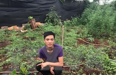 Phát hiện hộ dân trồng hơn 200 cây cần sa trong vườn nhà