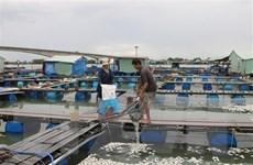 Bà Rịa-Vũng Tàu: Đã xác định được nguyên nhân cá chết hàng loạt