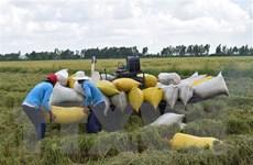 Giá lúa Hè Thu thấp, Hậu Giang khó tăng diện tích vụ Thu Đông