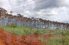 Khởi tố điều tra vụ hàng trăm cây thông bị đầu độc tại Lâm Đồng