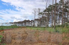 Lâm Đồng: Tan nát rừng thông trên địa bàn huyện Bảo Lâm
