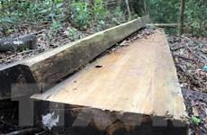 Lâm Đồng: Khởi tố đối tượng khai thác 28m3 gỗ quý trong rừng phòng hộ