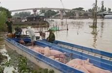 An Giang: Liên tiếp bắt giữ lợn nhập lậu từ Campuchia vào Việt Nam