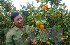 Hải Dương: Làng quất cảnh Thanh Hà thu lãi cao từ vụ Tết