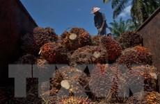 Tổng thống Joko Widodo chỉ trích EU hạn chế nhập dầu cọ của Indonesia