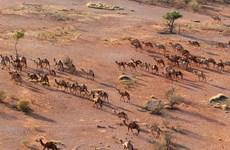 Australia bắn chết hơn 5.000 lạc đà hoang dã đe dọa cộng đồng thổ dân