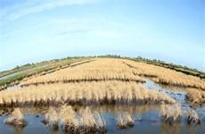 Hàng nghìn hécta lúa ở Sóc Trăng có nguy cơ mất trắng do hạn mặn