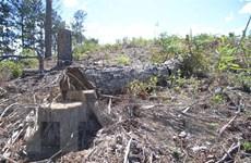 Vụ phá rừng thông Phi Liêng: Sẽ giải tỏa diện tích đất bị lấn chiếm
