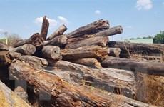 Mất rừng, mất tiền, hàng nghìn mét khối gỗ để mục nát ở Bình Phước
