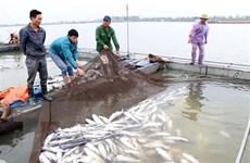 Xác định nguyên nhân hơn 100 tấn cá lồng chết trên sông Thái Bình