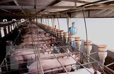 Đưa giá lợn hơi về mức trước khi có dịch ngay trong tháng Tư