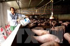 Giải pháp tái đàn lợn bền vững nhằm hạn chế dịch bệnh