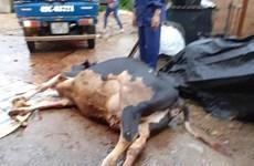 Lâm Đồng: Sét đánh chết đàn bò sữa ở huyện Đức Trọng