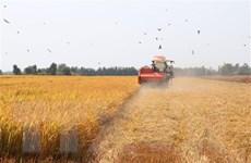 Giá lúa Đông Xuân giảm nhẹ nhưng vẫn giữ ở mức cao