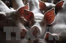 Dịch tả lợn châu Phi bùng phát ở Papua New Guinea