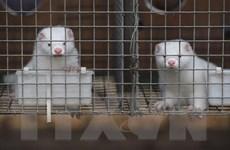WHO: Khó có khả năng vật nuôi lây truyền virus SARS-CoV-2 sang chủ