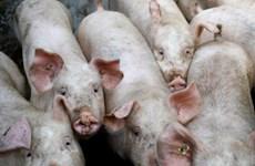Thái Lan sẽ hạn chế xuất khẩu nếu giá thịt lợn nội địa tăng cao