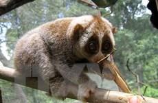 Bảo tồn loài Cu li quý hiếm tại Khu Bảo tồn thiên nhiên Xuân Liên