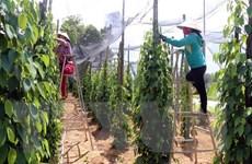 Bộ Công Thương hỗ trợ doanh nghiệp xuất khẩu tiêu mắc kẹt tại Nepal