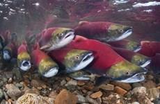 Cảnh báo lượng cá di cư toàn cầu giảm mạnh trong 50 năm qua