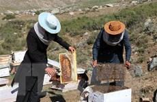 Tìm ra cơ chế cải thiện hệ miễn dịch của sữa ong chúa