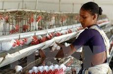 Đánh thuế chăn nuôi và tiêu thụ thịt để giảm nguy cơ xảy ra đại dịch