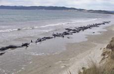 Phát hiện 100 con cá voi và cá heo chết do bị mắc cạn tại New Zealand