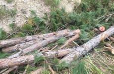 Lâm Đồng: Tội phạm phá rừng hoạt động ngày càng manh động