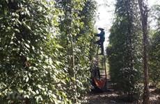 Biến động thị trường nông sản tuần qua: Giá tiêu tiếp tục giảm mạnh