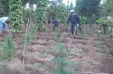 Đắk Lắk: Tạm giữ đối tượng trồng trái phép hơn 1.000 cây cần sa