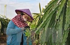 Thanh long vụ Tết giảm giá khiến nông dân thấp thỏm lo lắng