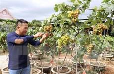 Cây nho kiểng Ninh Thuận thu hút khách dịp Tết Nguyên đán