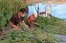 Người trồng hoa Lâm Đồng lao đao vì dịch COVID-19 bùng phát giáp Tết