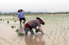 Thời tiết thuận lợi cho nông dân Thủ đô gieo cấy lúa Xuân