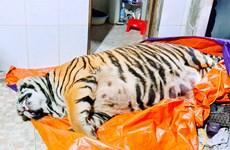 Hà Tĩnh: Khởi tố đối tượng mua hổ nặng 250kg về để nấu cao