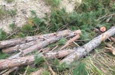 Lâm Đồng: Nhiều trưởng ban quản lý bị đình chỉ công tác vì để mất rừng