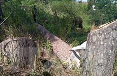 Điều tra vụ hàng loạt cây thông cổ thụ tại khu đất vàng Đà Lạt bị hạ