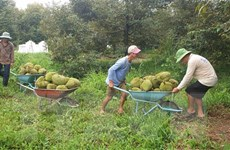 Đắk Lắk xây dựng hai phương án tiêu thụ sầu riêng và quả bơ
