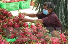 Tìm hướng đi mới cho hoạt động xuất khẩu trái thanh long