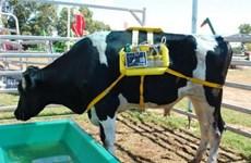 Biến khí thải từ miệng bò thành năng lượng thay thế
